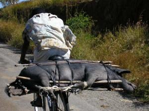 een varken op weg naar de markt